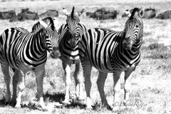 Zebra-3_resize